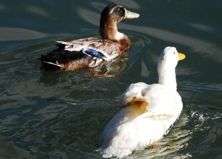 果园养鸭的技术有哪些?