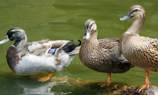 怎么样节省养鸭成本?