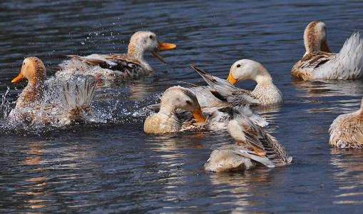 野鸭养殖需要注意什么问题?