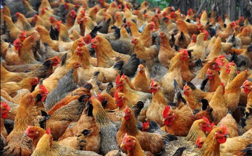 小型养鸡场需要投资多少钱?