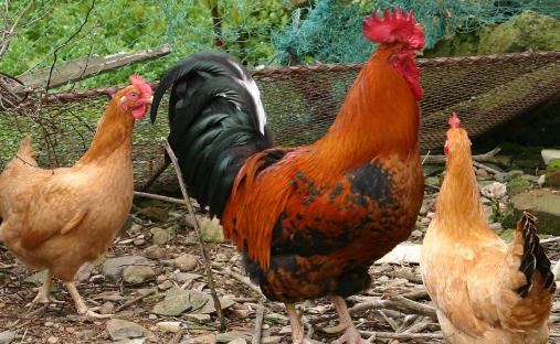养1000只鸡大概要投资多少钱?