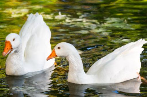 2019养殖鹅的政策补贴有哪些