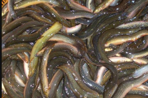 夏季高温季节泥鳅养殖管理要点有哪些