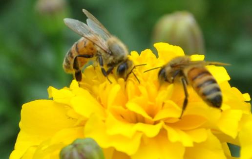 蜜蜂生产蜂王的培育技术有哪些