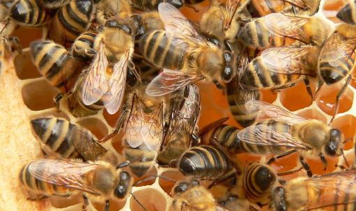 蜜蜂夏季管理技术有哪些