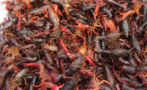 小龙虾人工繁育技术有哪些