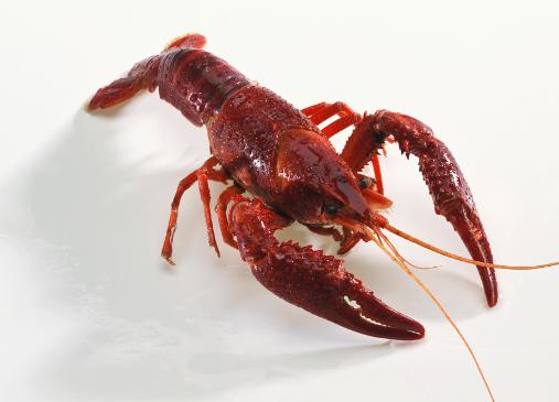 高温季节稻虾混养注意事项有哪些