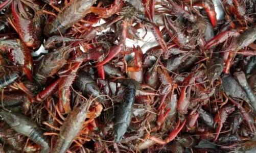 养小龙虾会有哪些风险