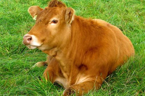 养牛利润与成本计算