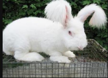长毛兔高效养殖技术有哪些