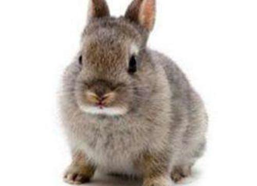 哺乳母兔饲养管理技术分析