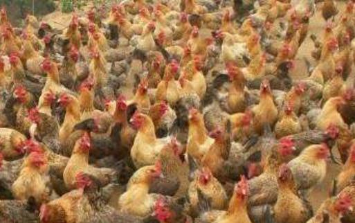 散养土鸡的成本与利润分析