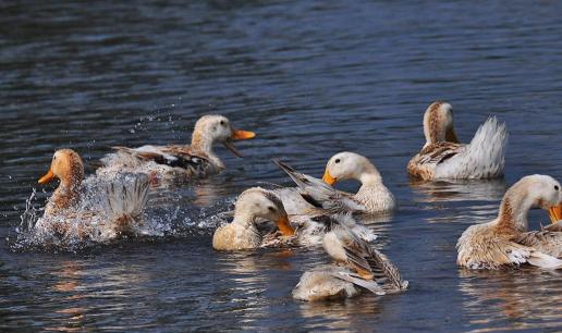 农村养鸭的几大误区有哪些