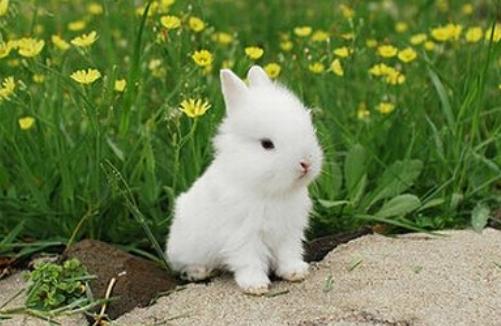獭兔的养殖技术有哪些