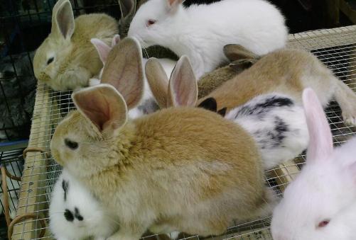 兔子养殖技术有哪些?