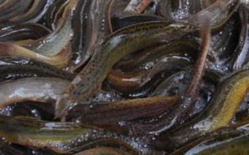 泥鳅养殖骗局分析