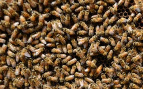 新手养蜂要注意什么
