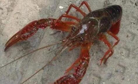 2020年小龙虾还能养殖吗?