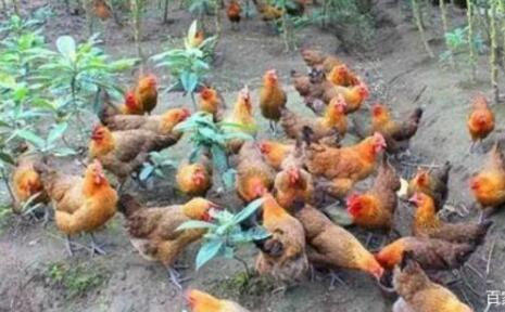 网上合作养鸡是真的吗?