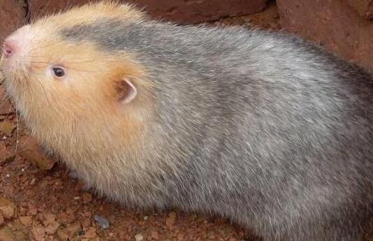 一般竹鼠有细菌吗?