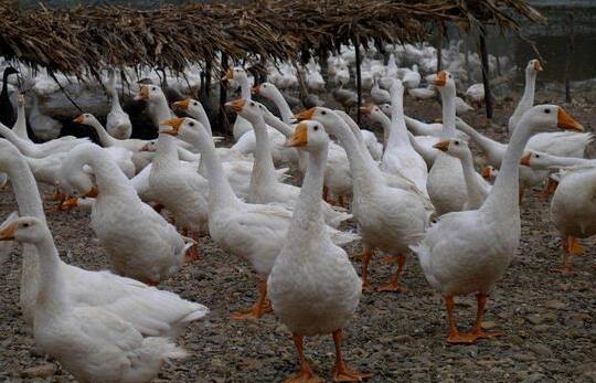 现在养殖鹅一只鹅的利润是多少?