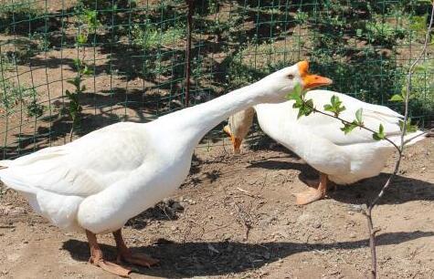 一亩大棚养鹅密度多大合适?