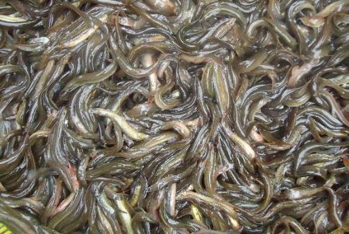 泥鳅养殖技术有哪些?