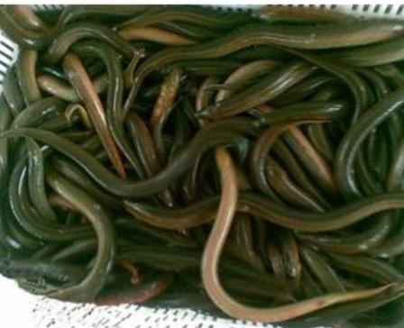 泥鳅养殖骗局