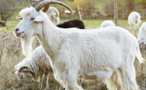 养100只羊的成本和利润大概是多少