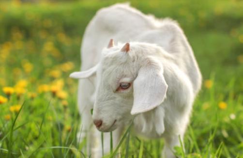 羊怎么样才能高产