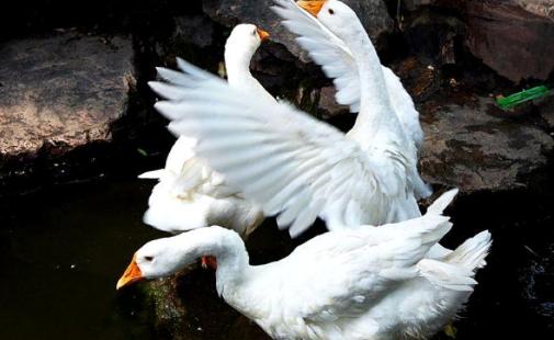 母鹅养殖技术要点有哪些