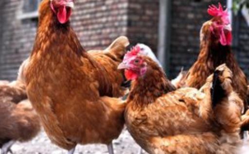 如何提高鸡的产蛋率