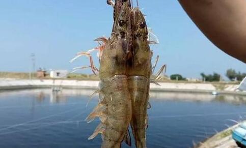南美白对虾养殖利润一般有多少?