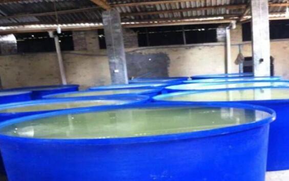 工厂化桶养虾真实吗?
