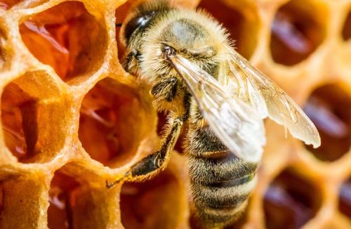 蜜蜂主要品种有哪些