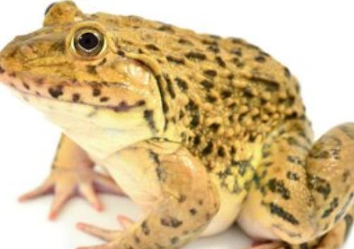 青蛙养殖前景效益分析