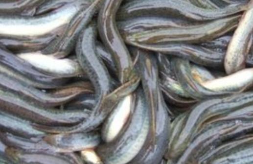 野生泥鳅的特征和养殖泥鳅的区别有哪些