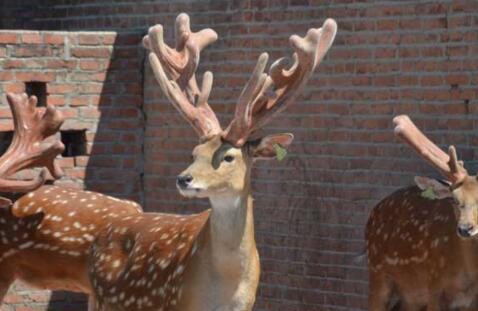 现在投资五万能买几头鹿?