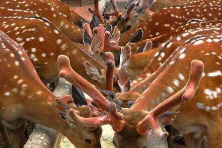 人工养殖梅花鹿要办哪些证?