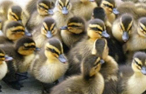 养鸭和养鹅的区别?养鸭养鹅效益分析