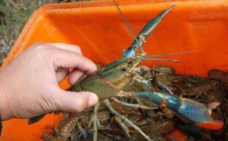 预测2020龙虾价格会怎么样还会是低迷吗?