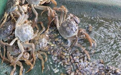 现在养螃蟹一亩能要多少本钱利润有多少?