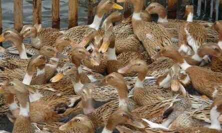 一千只蛋鸭利润究竟有多少?