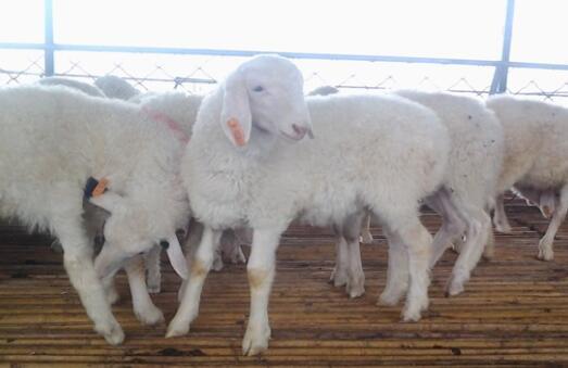 湖羊跟小尾寒羊哪个利润大?