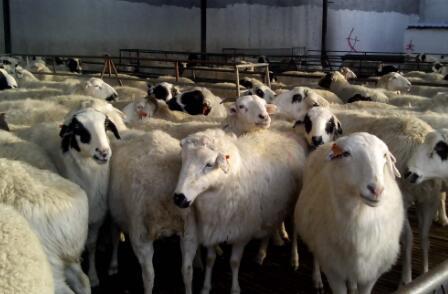 小尾寒羊养殖成本要多少?