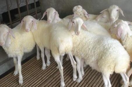 2020年养殖50只小尾寒羊利润能有多少?