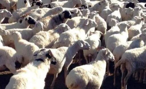 预测2020年的活羊行情走势会怎么样?