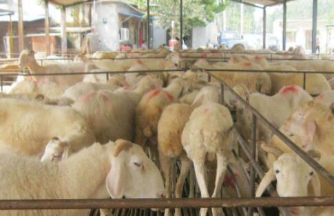 肉羊养殖周期一般是多久?