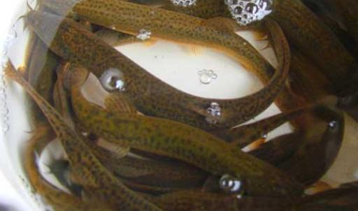 无土泥鳅养殖一亩大概需要多少钱?