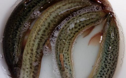 野生泥鳅的特征和养殖泥鳅的区别分析